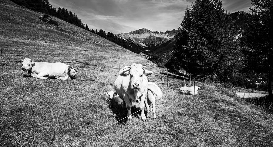 Vache au lac de Roue