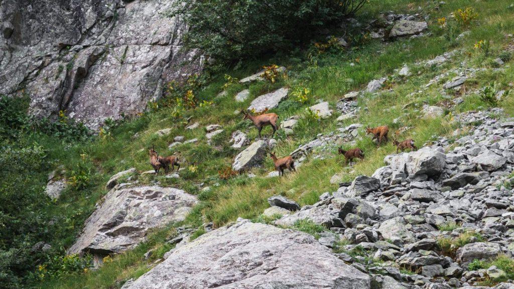 Chevreuils au pré de madame carle